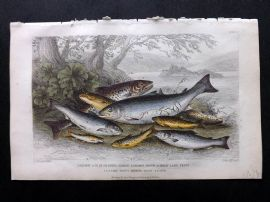 Goldsmith 1853 Antique Hand Col Print. Salmon, Gilse or Young Salmon, Great Lake Trout
